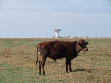 Meget karakteristisk for Molotsjnoje er denne oksen med romfartssenteret i bakgrunnen.